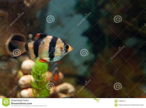 liste poisson d eau douce aquarium seul poisson d eau douce de bavure de tigre dans l