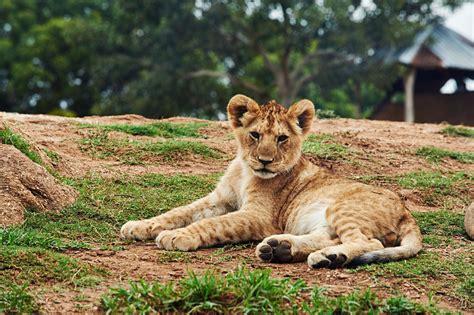 gray lioness  stock photo