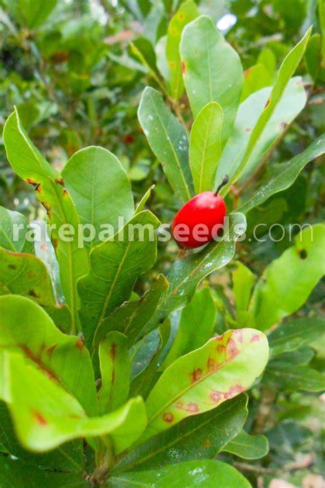 synsepalum dulcificum miracle berry buy seeds