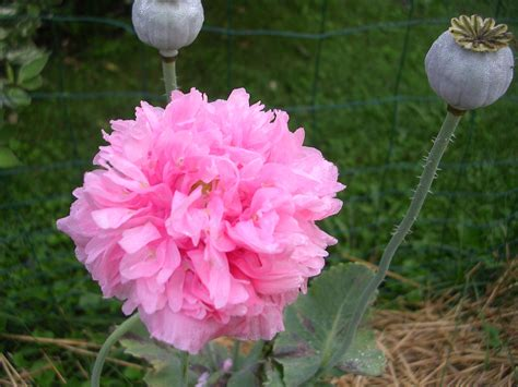 poppy varieties pictures how to grow poppies growing and caring for poppies
