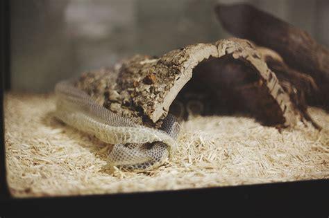 python shedding care do pythons shed in one my pet python