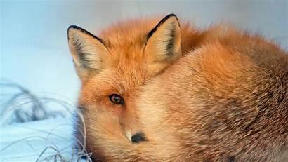 Winter Animal Desktop Fox Nature Wallpapers Laptop