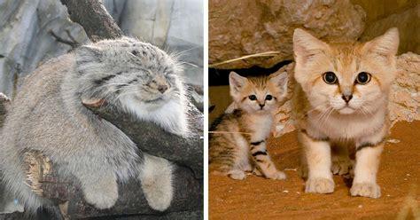 21 Especies Curiosas De Felinos Salvajes Que Probablemente