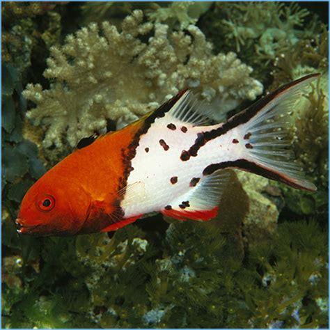 hogfish lyretail fish spanish aquarium cuban