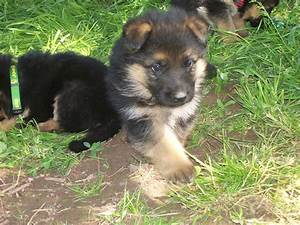 Black And Brown German Shepherd Puppies | www.pixshark.com ...