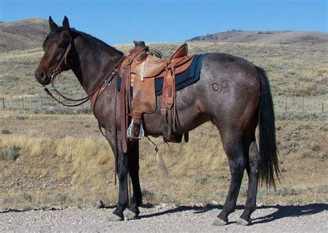 horses quarter horse roan ranch stallion rolling bay cow three bar pretty american stallions rimrock looking western munns cowboy aqha