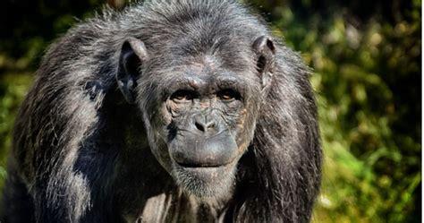 Bondo Mystery Ape Aka Bili Ape Existence   Destination ...