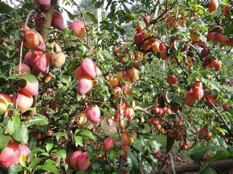 are ornamental plums edible are ornamental plums edible 100 images 100l harpephyllum caffrum or plum tree a large