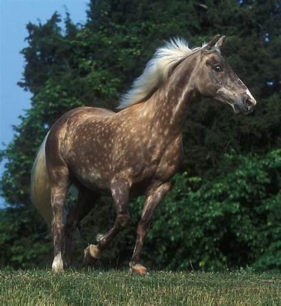 Horse Rocky Mountain Wikipedia Wiki