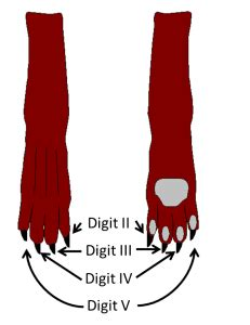 dog toes musculoskeletal basics  joint sprains