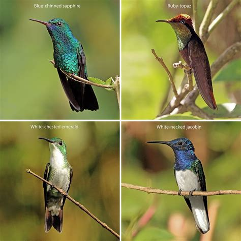 hummingbird wikipedia