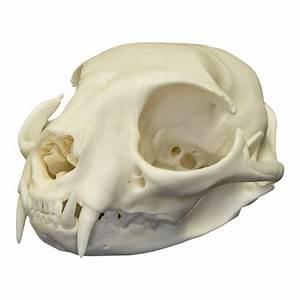 Real Domestic Cat Skull For Sale  U2013 Skulls Unlimited