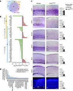 Tshz3 Lacz  Lacz Mice Show Altered Gene Expression Of