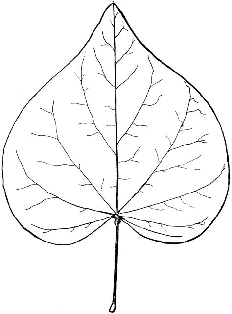 genus cercis  red bud clipart