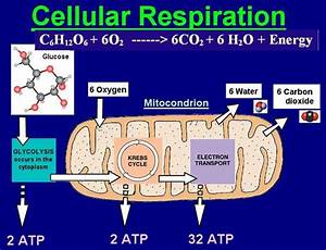 Cellular Aerobic Energy Production  Also Known As Cellular