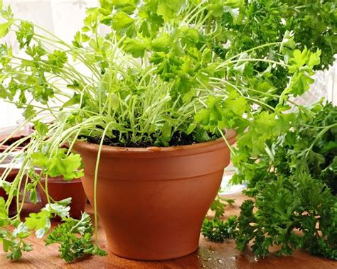 Herb Garden Indoor : Top Herbs To Grow In Your Kitchen
