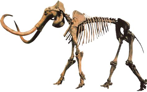 Woolly Mammoth, Mammuthus primigenius by TPI