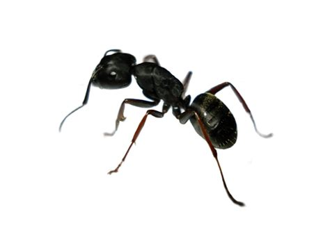 ant service buffalo ny ant control ant exterminator prostar pest services