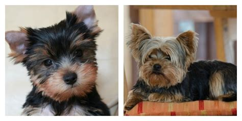 grown   adorable   pictures  dogs