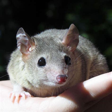 tailed opossum mammals seneca park zoo