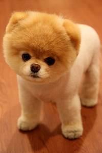 Teddy Bear Puppy Breeds