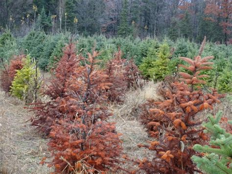 christmas tree with root root rot prevention detection and elimination growace