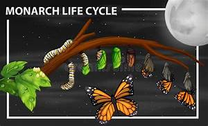 The Butterfly Life Cycle Stock Vector  Illustration Of