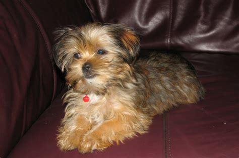 snorkie schnauzer yorkie mix info temperament puppies pictures