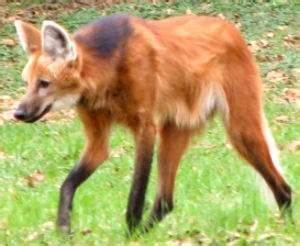 Does a fox and wolf hybrid really exist? - Quora