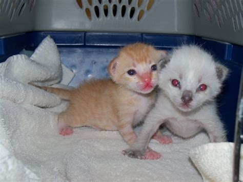 2 week kittens bottle babies community concern for cats