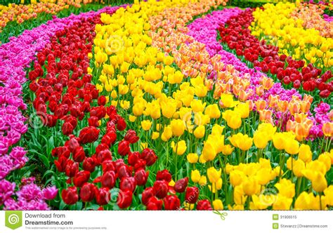 tulip flower garden free stock tulip flowers garden in spring background or pattern royalty free stock photo image 31906515