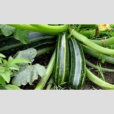 In The Garden Compact Zucchini Plants
