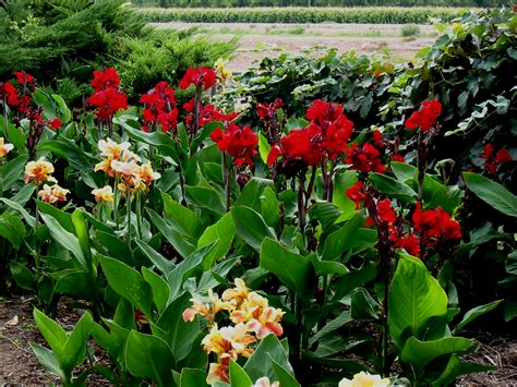 canna planthaven international