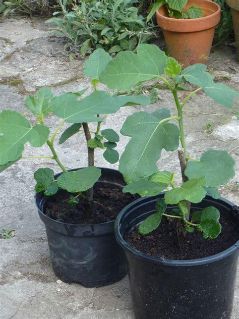 arrosage figuier en pot plant de figuier
