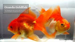 Goldfish Standards Series  Oranda Goldfish