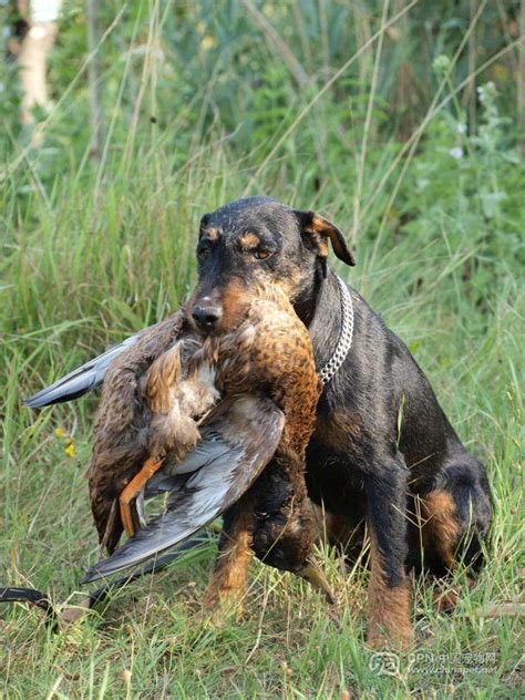 German Hunting Terrier Dogs