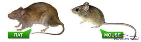 difference between rat and mouse know the differences between rats and mice proactive pest management