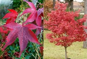 Ahorn Rote Blätter : japanischer ahorn 18 arten pflanz und pflegetipps ~ Eleganceandgraceweddings.com Haus und Dekorationen