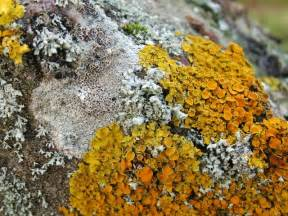 Lichen On Rocks