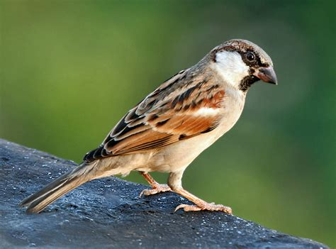 file house sparrow m i img 7881 jpg wikipedia