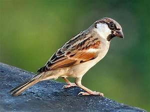 File:House Sparrow (M) I IMG 7881.jpg - Wikipedia