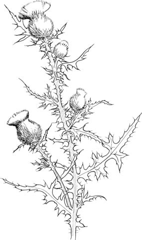cirsium vulgare  bull thistle coloring page