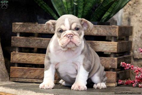 lola english bulldog puppy  sale  pennsylvania