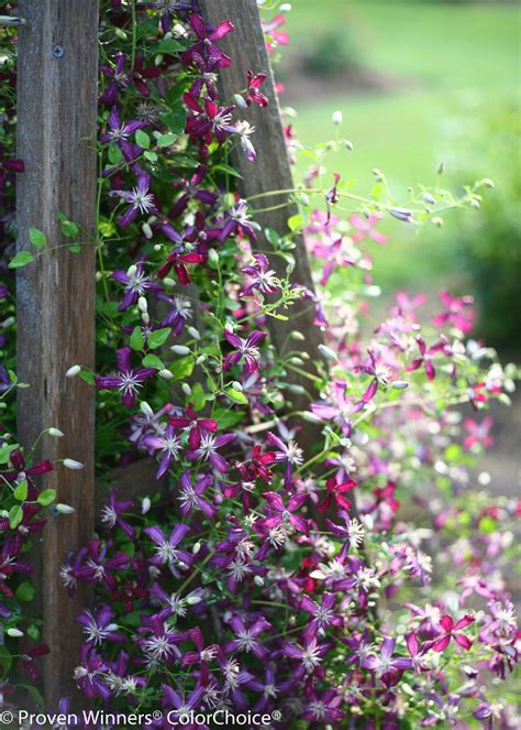 sweet summer love clematis  images proven winners