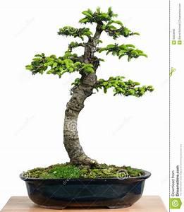 Abete Rosso (orientalis Del Picea) Come Albero Dei Bonsai