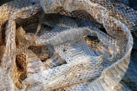 Shedding Snake by Abnormal Skin Shedding In Reptiles Symptoms Causes