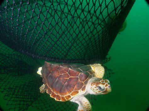 loggerhead sea turtle interactions