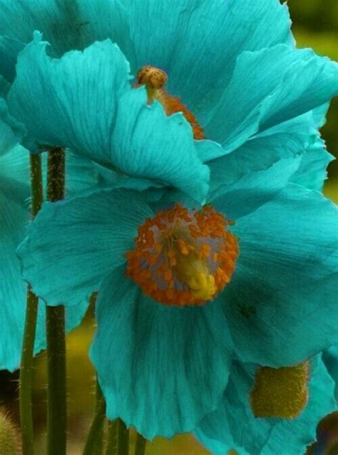 turquoise poppies beautiful ink