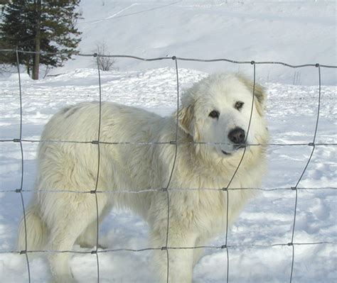 great pyrenees shedding help great pyrenees the cuteness farming