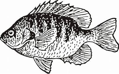 Bluegill Fish Clipart Aquatic Animals Detailed Pan